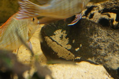 Geophagus sp. Read Head Tapajos F1 24