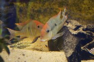 Geophagus sp. Read Head Tapajos F1 3
