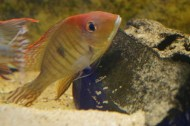 Geophagus sp. Read Head Tapajos F1 6