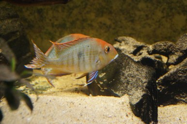 Geophagus sp. Read Head Tapajos F1 8