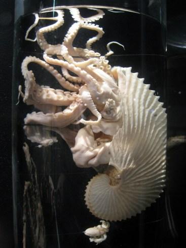 Argonauta_argo_-_Oslo_Zoological_Museum_-_IMG_9071