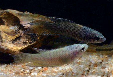 Macropodes hongkonensis