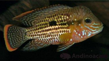 Andinoacara rivulatus (13)