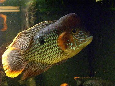 Andinoacara rivulatus (38)