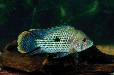 Andinoacara rivulatus (63)