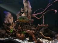 Décors Aquarium Mesoheros Festae