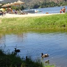Várias famílias de patos partilham a praia em harmonia com as pessoas