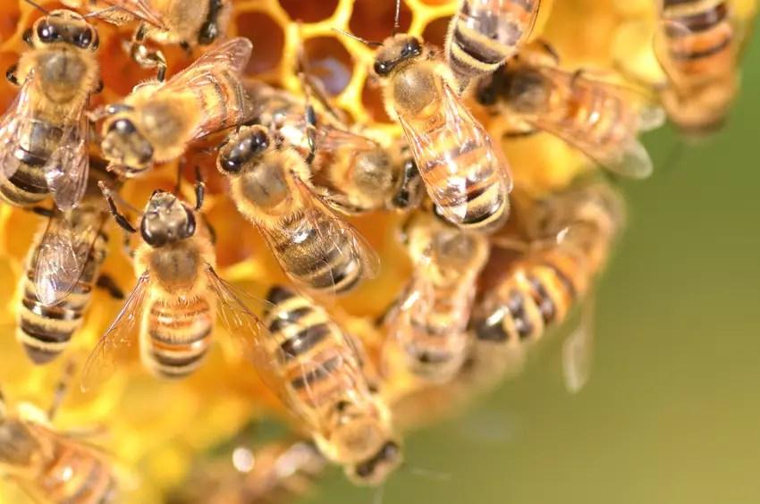 Pesticida usado para matar ácaros em colmeias pode estar matando as abelhas