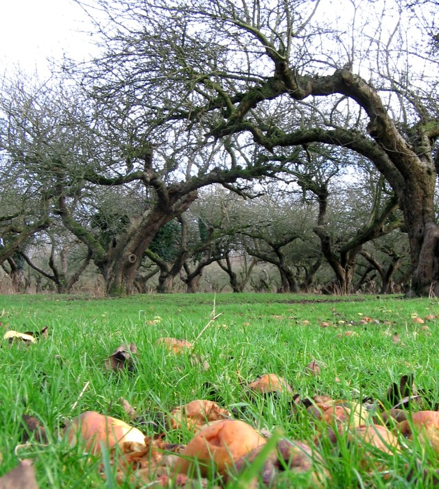 Windfall taxing: orchards could be grubbed