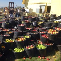 Cider Pressing 2014--Longmont, CO