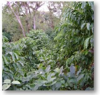 ciencia de cuba_ciencia cubana_Empleo del Abonos verdes en la producción de café_Canavalia ensiformis_1