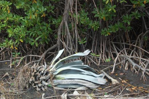 ciencia de cuba_ciencia cubana_manglares de cuba_santiago de cuba_III Taller Regional de Formación de Capacidades para el Manejo Costero (26)