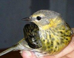 ciencia de cuba_ciencia cubana_anillamiento de aves en cuba_estación ecológica siboney juticí (1)