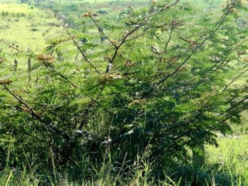 ciencia de cuba_ciencia cubana_plantas de cuba_4