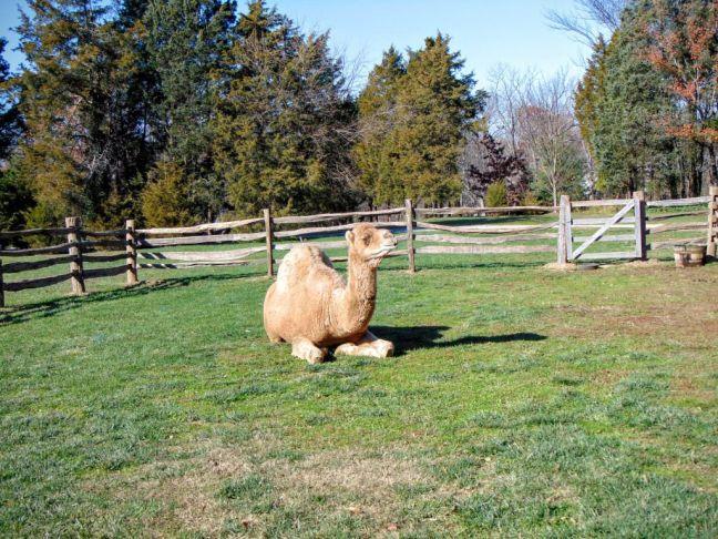 Wielbłąd z reklamy HumpDay