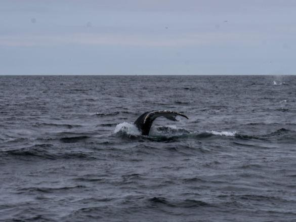 Pieśń wielorybników, czyli oglądam bostońskie wieloryby