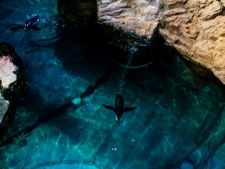 Pływające pingwiny w basenie