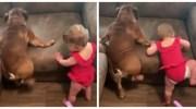 Ці веселі малюки намагаються підкорити диван. Дуже смішне відео!