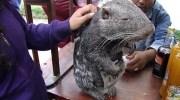 Паракан — найбільший і найчарівніший гризун на світі