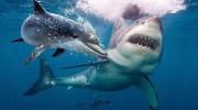 Чому акули бояться дельфінів?
