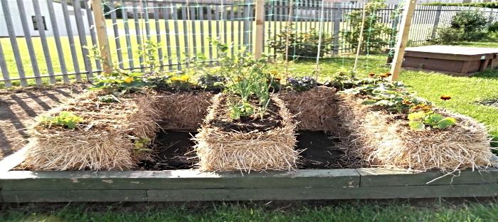 Planting A Strawbale Garden Dave S Garden