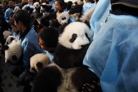 020panda-Immagini di panda