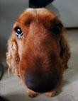 cane conteso