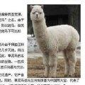 alpaca_original-caonima