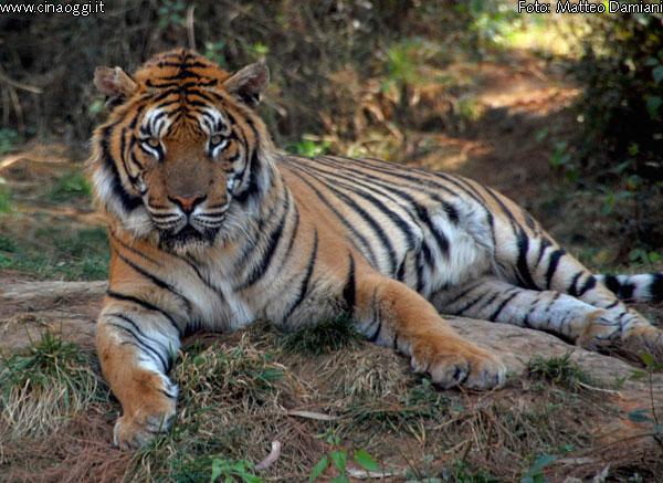 tigre della Cina