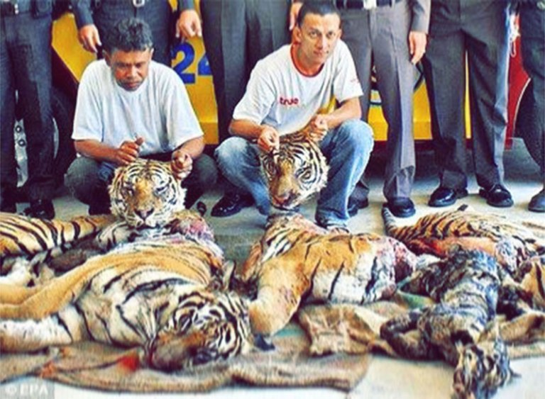 abusi animali in cina medicina tradizionale cinese-tigri