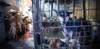 festival della carne di cane di Yulin