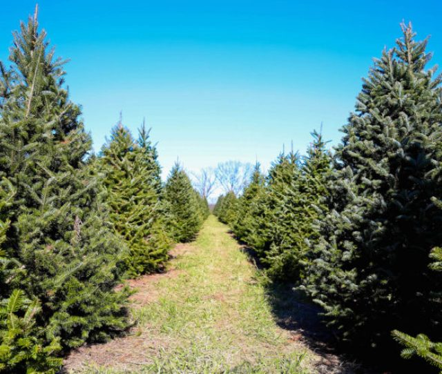 When It Comes To Christmas Traditions Picking Out A Tree Ranks At The Top Of The List Even Kevin Mccallister Knew This Chopping Down His Very Own