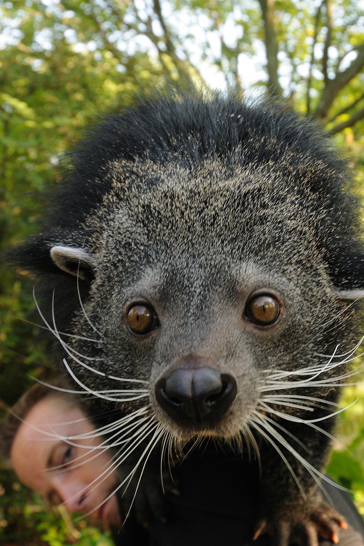 Bearcat Binturong Cincinnati Zoo Amp Botanical Garden 174