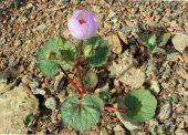 E. rotundifolia