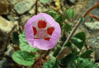 E. rotundifolia - Five spot