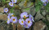Phacelia fremontia - yellow throats