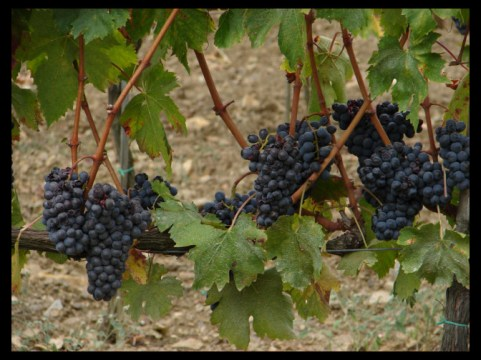September 16, 2007 - Montalcino grapes