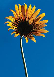 MaxSunflower