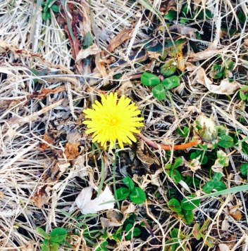 Hope of spring dandelion