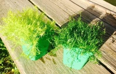 Mosses Irish and Scottish