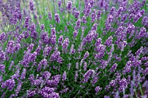 seeds english lavender