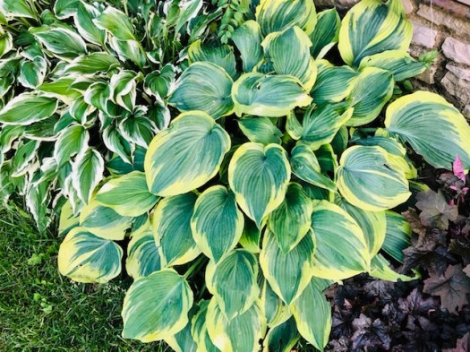 Plant in Fall Hostas
