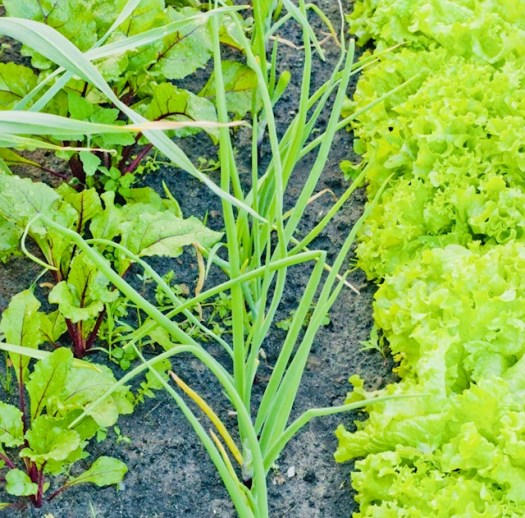 Companion Gardening Plants that Thrive Together chives and lettuce