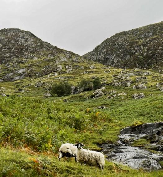 Learn About Isle of Skye sheep