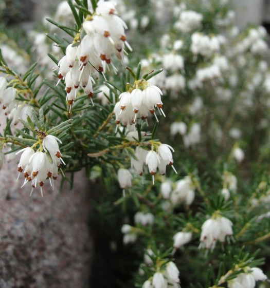 Ten Scottish Superstitions white heather