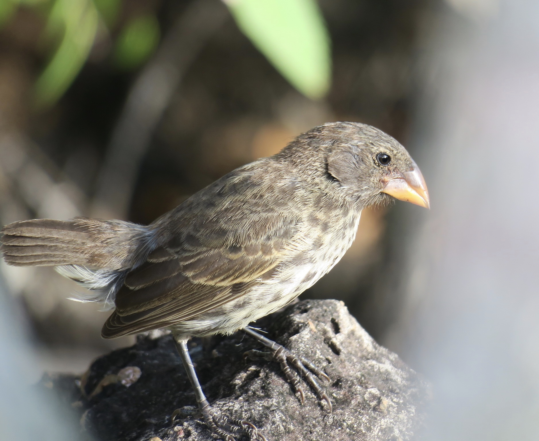 Darwin S Finches Of The Galapagos Islands Chasing Dreams
