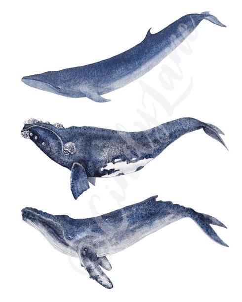 Three Species Whale Trio