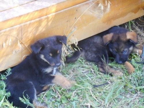 Two German Shepherd puppies