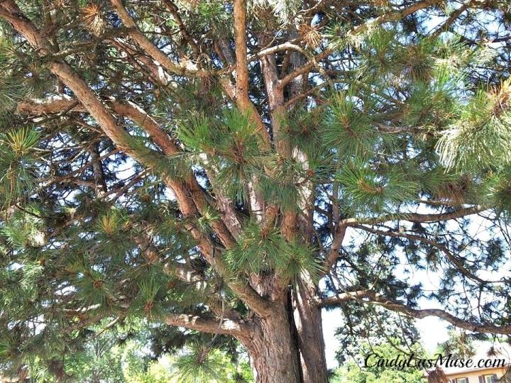 CindyLusMuse-Spirit-Tree-Looking-Inward