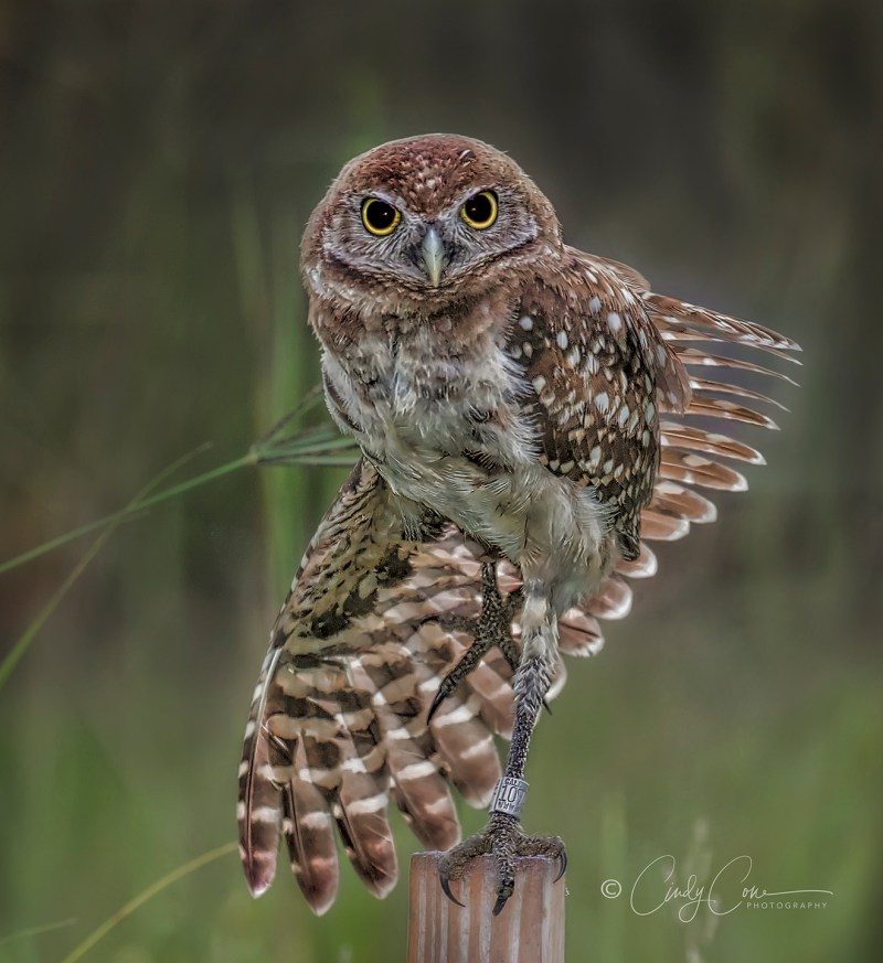 Burrowing owl with outstretched wing, Cape Coral, Florida